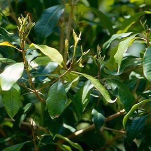 clove leaf